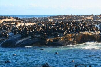 Seals at Hout Bay, Cape Town